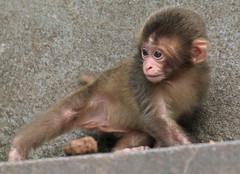 Japanese macaque artis JN6A9637 (j.a.kok) Tags: artis macaque japanesemacaque makaak japansemakaak