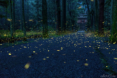 Sanctuary (ck0375s) Tags: summer rain night forest insect landscape nikon shrine bokeh outdoor firefly