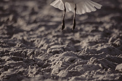 Fly Away -- Low angle view in smoky sepia (Chickens in the Trees (vns2009)) Tags: blackandwhite beach monochrome closeup sepia coast sand legs gull liftoff midair airborne tailfeathers