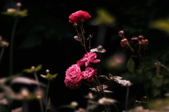Classic Dreams (fractured fantasies) Tags: flowers classic love nature beauty rose canon flora focus bokeh dreams naturalbeauty photgraphy backgroundblur