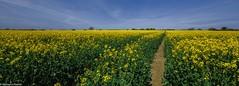 Path to rapeseed! (R Rabi) Tags: rapeseed