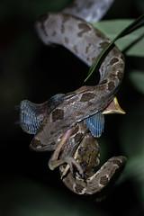 _A165180 (RAStr) Tags: bird animal feeding reptile snake boa predation