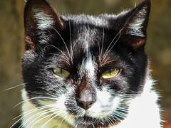 Wildcat eyes (Hugo Cesar Gusmao) Tags: wild cats look animal cat olhar sony gatos gato mirada animais selvagem salvaje miradasalvaje sonydsch2 dsch2 savagelook olharselvagem