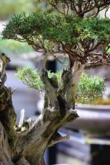 Vielle branche (StephanExposE) Tags: bonsai arbre tree mini miniature feuille leaf paris iledefrance france nature plantes parc parcfloraldeparis canon 600d 100mm 100mmf28lmacroisusm stephanexpose