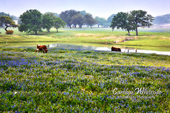 Misty Morning Longhorns at Pond