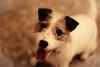 Waits (moaan) Tags: dog smile japan concentration do bokeh kobe jp utata jackrussellterrier hyogo kinoko 2015 dogportrait thelittledoglaughed littledoglaughedstories wxcired