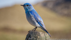 Mountain Bluebird (Male) (westrock-bob) Tags: park morning copyright canada color colour male bird canon fence photography eos photo spring image pics awesome wing picture feather ab pic photograph alberta aviary bluebird 6d mountainbluebird sialiacurrucoides albertabadlands albertatourism canon6d tourismalberta canoneos6d bobcuthillphotographygmailcom bobcuthill