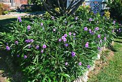 Key West (Florida) Trip, November 2014 0290Ri 4x6 (edgarandron - Busy!) Tags: flowers flower keys florida keywest floridakeys higgsbeach westmartellotower keywestgardenclub