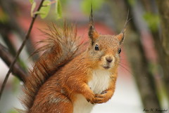 Wet & wild (K. Haagestad) Tags: cute wet rain animal spring squirrel