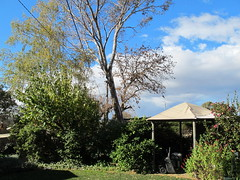 Back garden trees with 2 felled (spelio) Tags: tree gum backyard branches remove eucalypt link todo eucalyptus limb gazeebo act pruning felling tosee