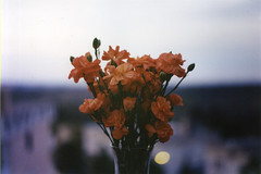 [Explored] (In absentia_) Tags: flower film analog 35mm vintage bokeh yashica fx7 analogico