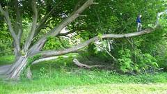 The Dare (SteveLeoEvans) Tags: tree outdoors climb scarey dare bold hs