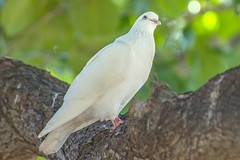 White Dove (fotofrysk) Tags: usa white tree bird zoo hawaii branch oahu dove honolulu honoluluzoo whitedove nikond7100 201411254605