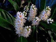 #blühender #Lorbeer (RenateEurope) Tags: white plant blooming 2016 lorbeer blühender lauraceae awesomeblossoms iphoneography renateeurope