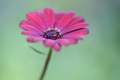 Love the Color! (Connie Etter Photography) Tags: flower macro canon flora backyard indiana 100mm osteospermum capedaisy 1dx