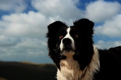 20/52 The Dog with the Saucer Sized Eyes (JJFET) Tags: dog mist dogs for eyes collie sheepdog border 20 weeks 52
