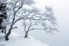 Frozen trees (StephAnna :-)) Tags: schnee winter white snow tree ice hiver arbres neige bume glace