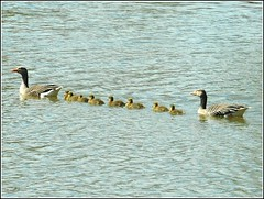 Follow me Leader .. (** Janets Photos **) Tags: uk geese lakes hull naturereserves bransholme