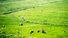 Tending the rice fields, North Korea (tom.frohnhofer) Tags: people asia farmer ricefields agricultural northkorea paddies dprk 2015 tomfrohnhofer