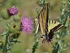 Papilio multicaudata multicaudata (carlos mancilla) Tags: insectos butterflies mariposas olympussp570uz papiliomulticaudatamulticaudata