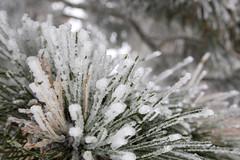 needles (brianficker) Tags: usa snow wv skiresort westvirginia snowshoemountain