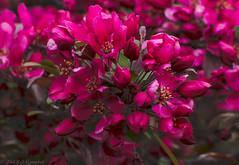 Cherry Blossoms (soupie1441) Tags: pink ontario canada color colour tree london cherry nikon deep blosson d7200