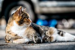 Soaking It In (JasonTurrisiPhotography.com) Tags: portrait pet cat nikon bokeh adobe calico nik tamron 70200 lightroom d610 vsco nikcollection