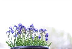 Almost Done (haberlea) Tags: flowers blue white plant green nature garden pot mygarden onwhite muscari