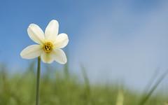 sbocciati (walter.fangio) Tags: fiori narciso malgagarda