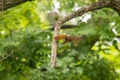 7K8A3831 (rpealit) Tags: scenery wildlife nature east hatchery alumni field hackettstown red squirrel jumping