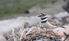 Killdeer (VancouverBirder) Tags: shorebird killdeer plover charadrius vociferus iona island vancouver bc canada british columbia explore wow