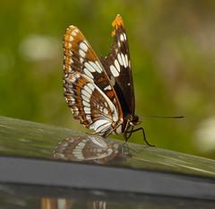 Lorquin's Admiral (vietnamvera) Tags: canadianbutterflies butterfliesofcanada canadianlepidoptera canadaflorafauna canadianrockies canadianrockymountains