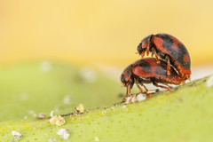 Ladybugs mating (Patrcia. Ferreira) Tags: canon 6d 100mm l raynoxdcr250 mt24ex macro ladybug joaninha coccinelidae rodolia cardinalis red vedalia beetle