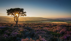 A heathery sunset (Katherine Fotheringham) Tags: sunset carrot hill heather dundee scotland flowers purple tree