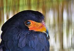 Bateleur Eagle (dlanor smada) Tags: eagles bateleureagle birdsofprey aylesbury bucks