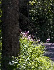 Des pilobes (BLEUnord) Tags: pilobes sentier path parc park riviredumoulin chicoutimi saguenay epilobium