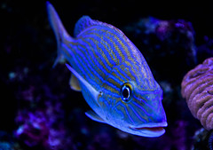Electric Blue (littlestschnauzer) Tags: tropical fish blue electric stripes aquarium mexico xcaret eco theme park tourist attraction water swimming 2016 holiday vacation striking colourful bright animals animal nature underwater swim