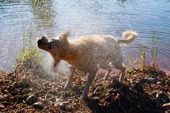 Ich knnte mich auch schtteln.. (ingrid eulenfan) Tags: tier hund dog animal wasser labrador baden schtteln