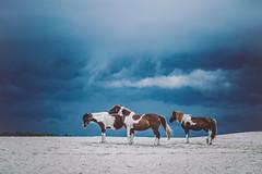 Storm Brewing Assateague by Anna Smolens (Maryland DNR) Tags: 2016 photocontest summer feral life storm assateague natureinaction ponies horses beach