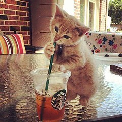 #funnypics : #thirsty ? Here, a #cat is #drinking #starbucks #icetea !  (Pretty Cool Pic) Tags: pretty cool funnypics thirsty here cat is drinking starbucks icetea