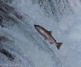 Jumping Red Salmon II