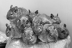 Pile of degus, Lakeland Wildlife Oasis, near Milnthorpe, Cumbria, UK (Ministry) Tags: degu brushtailedrat octodon degus lakelandwildlifeoasis milnthorpe zoo hale cumbria uk huddle stump caviomorph rodent monochrome