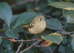 Wee (marensr) Tags: wee bird rubycrowned kinglet nature chicago waters school
