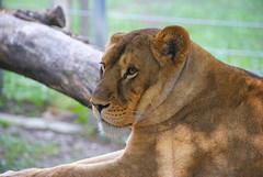 DSC03296-3 (hofferp) Tags: animallove animalphotos animals zoobudapest zoolife hungary sostozoo sonya300 sonydslr sonycam tiger whitelion littlepanda katta lion zebra orangutan
