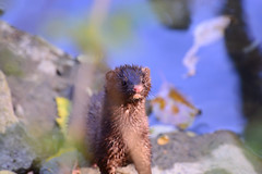 mink (liulequn) Tags: pomonapark d7100 mink wildlife animal nature planet animalplanet