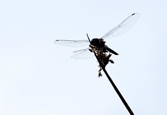 ... on a Wing and a Prayer -- Black Saddlebags -- Male (Tramea lacerata); Albuquerque, NM, Tingley Beach Park [Lou Feltz] (deserttoad) Tags: nature wildlife animal wild insect odonate dragonfly behavior