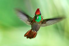 Radiating Splendor (S.J. Trinidad & Tobago Nature) Tags: hummer hummingbird nature neotropic trinidadtobago coquette tufted bif lophornis ornatus beauty stephenjay photography thewildlife
