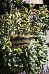 Woolly Rose (Echeveria 'Doris Taylor') and  Echeveria harmsii Plush Plant hanging basket (julesnene) Tags: echeveriaharmsiiplushplant woollyroseecheveriadoristaylor juliasumangil julesnene succulent succulents garden california droughttolerant waterwise fanatic