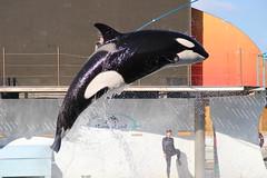 IMG_7111 (Bebelouga) Tags: orque marineland killerwhale orca