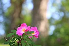 Flowering Bush in April (Bella Lisa) Tags: flower tree bokeh april